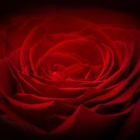 Rose Naitre et Grandir Tente rouge